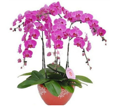 Phalaenopsis Bonsai Adorable Butterfly Orchid Flower Seeds *10PCs Seeds ☆