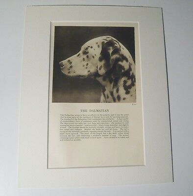 "Mounted 1931 Dalmatian dog print 8"" x 10""  IDEAL GIFT Collectable"