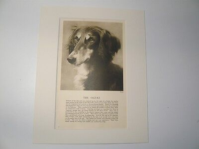 "Mounted 1931 SALUKI dog print 8"" x 10"" IDEAL GIFT Collectable"