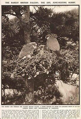 1939 Print Photo The rarest British Falcon the Shy Hobby in Nest