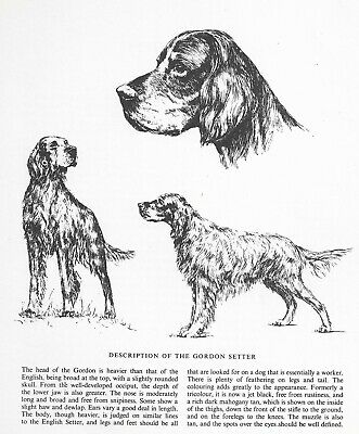 Gordon Setter Sketch - 1963 Vintage Dog Print - Matted