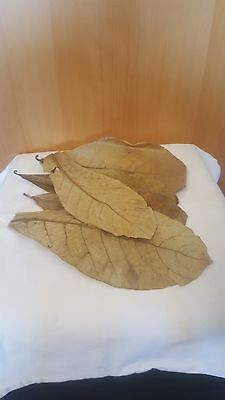 10 Seemandelbaumblätter / Catappa Leaves Laub 30-35cm für Welse, Aquariumfische