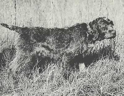 * Wirehaired Pointing Griffon - Dog Photo Print - 1964