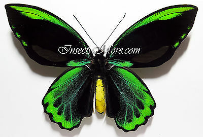 Ornithoptera allotei male *Bougainville*