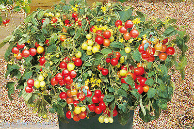 Tumbling Red Tomato 10 Organic Seeds