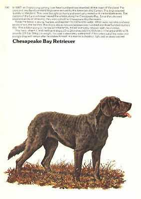 Chesapeake Bay Retriever Dog Print - 1976 Cozzaglio