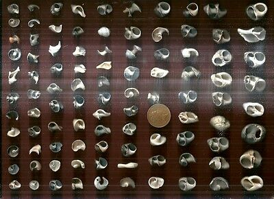 95 interesting Scottish sea shell pieces,200g-ideal 4 NAUTICAL art/craft work