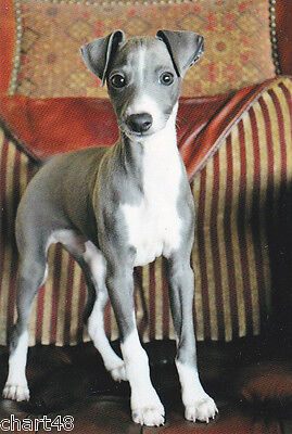 Postkarte * Whippet  Puppy    * Windhund * levrier #  3