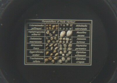 Beautiful Microscope Slide of Selected Foraminifera from Poole by Brian Darnton