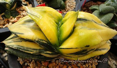 G. armstrongii 'Dolphin' variegate (GN-VS), 20 seeds, Set B21