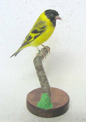 Taxidermy Stuffing BLACK-EADED SISKIN with base perfect Real Bird perfect Museum
