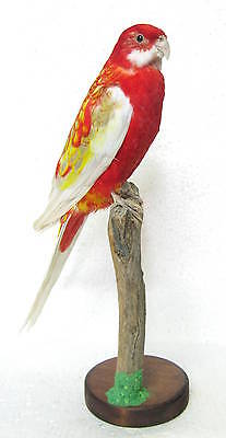 Taxidermy Stuffing Magnificent Eastern rosella with base - Real Parakeet  Canary