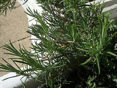 Hardy Outdoor Rosemary Fragrant Aromatic Culinary Herb Garden Plant