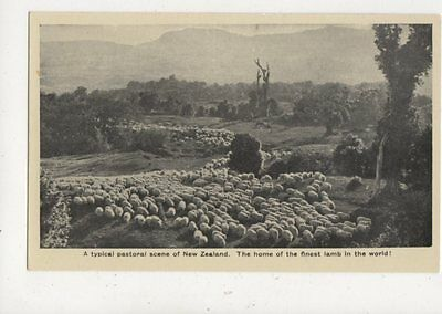 A Typical Pastoral Scene Of New Zealand Vintage Postcard Sheep 914a