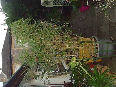 Large Bamboo in a pot