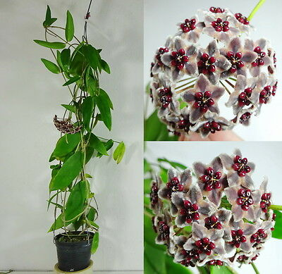 HOYA GLOBULIFERA Blooming Size, 15 Inches Healthy Mature Plant