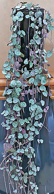 CEROPEGIA WOODII String of Hearts. SEEDS, 5, 10, 15  or 20