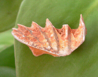 Awesome Lungfish Tooth/jaw Morocco
