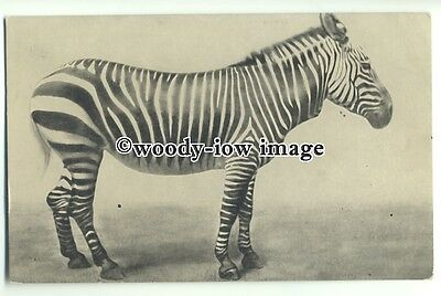 an0749 - Zebra on Display, (not sure what type) - postcard