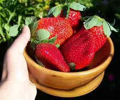 1000x Giant Strawberry Seeds RARE Fragaria Ananassa Huge Fruit Organic Heirloom