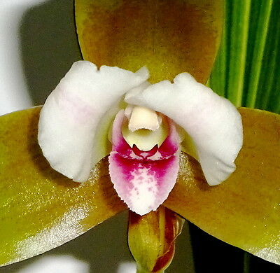 Lycaste macrophylla ´Libertys Berry Wood´ Duft NEW Orchidee Orchideen