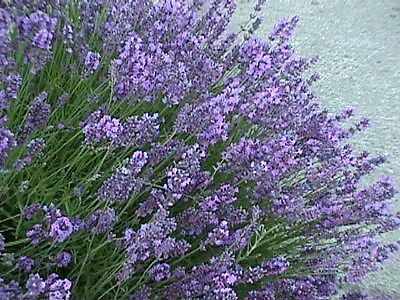 Organic Lavender Common English 400 Seeds Perennial Flower