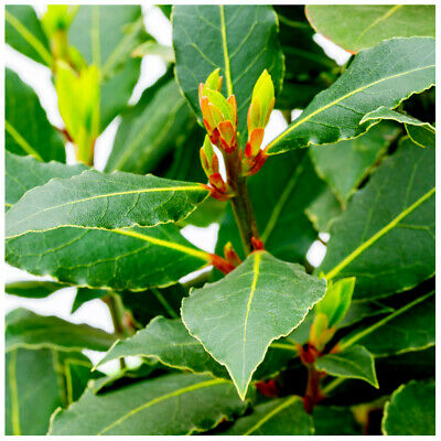 Laurus nobilis / Bay tree, 35-40cm Tall in 1.5L Pot, Cooking Bay Leaf Tree Plant