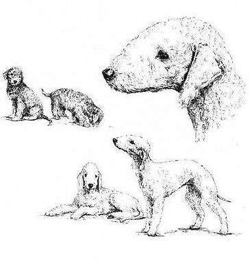 Bedlington Terrier - 1963 Vintage Dog Print - Matted *