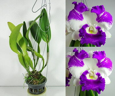 Sale item!!!, Cattleya LC.WHITE SPARK Blooming size, Orchid Plant, Garden