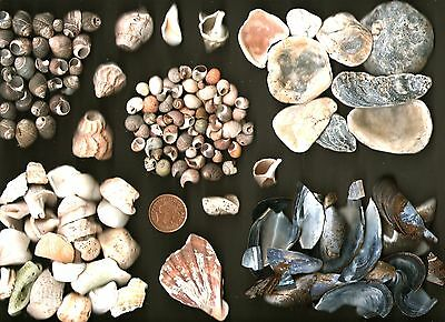 Assorted broken Scottish sea shell pieces 4 composite art,craft.350g.Oyster etc