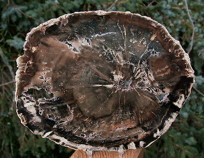 "SiS: 9.5"" Petrified Wood Round - OUR LARGEST EVER WOODWORTHIA!"