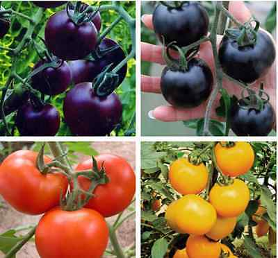 Tomato Seeds Red Black Green Yellow & Purple Mixed seeds X 200 UK SELLER