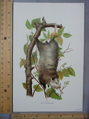 Rare Antique Original VTG 1897 Hanging Opossum Mammal Color Litho Art Print