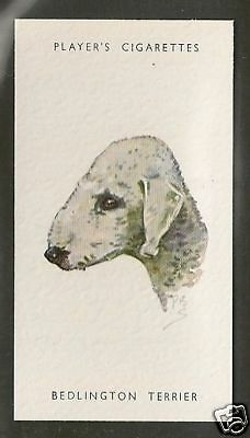 1940 UK Peter Biegel Dog Art Head Study Player Cigarette Card BEDLINGTON TERRIER