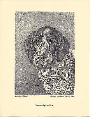 1890 Bungartz Dog Print Reproduction GERMAN WIREHAIRED POINTER POINTING GRIFFON