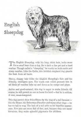 Old English Sheepdog - 1950 Vintage Dog Print - Matted