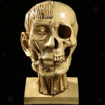 Realistic Human Skull Muscle Head Resin Model Decor Medical Teaching Yellow