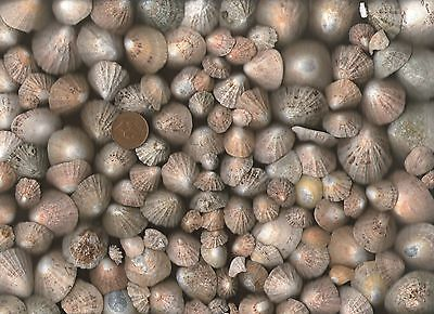 Lots of very sea worn LIMPET sea shells & pieces from Dunbar,Scotland,500g