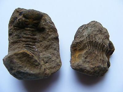 vintage original small fossil that looks like an alien.