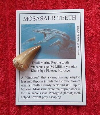 Mosasaur Tooth With Info Card