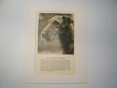 """Mounted 1931 AIREDALE TERRIER print 8"""" x 10""""  IDEAL GIFT Collectable"""