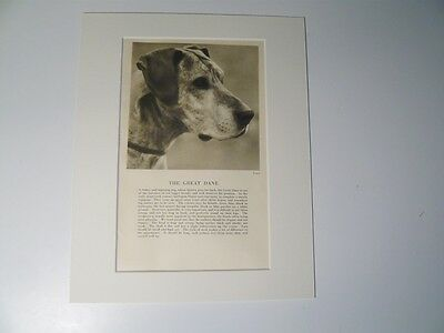 """Mounted 1931 Great Dane dog print 8"""" x 10""""  IDEAL GIFT Collectable"""