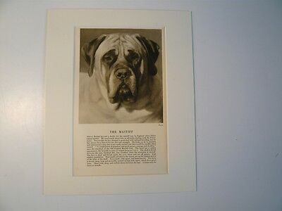 """Mounted 1931 MASTIFF dog print 8"""" x 10"""" IDEAL GIFT Collectable"""