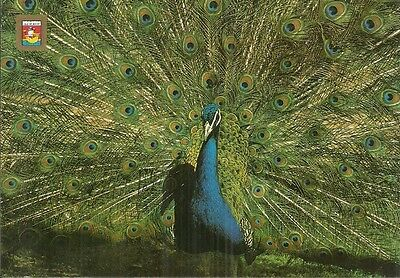 Indian Blue Peafowl In Full Glory.