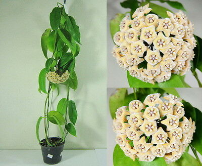 HOYA FRATERNA Blooming Size, 15 Inches Healthy Mature Plant, Rare, New