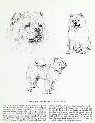 Chow Chow Sketch - 1963 Vintage Dog Print - Matted