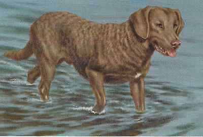 Chesapeake Bay Retriever - Vintage Color Dog Print - MATTED