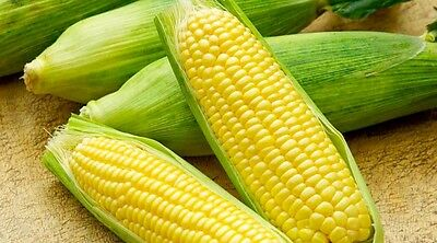 Vegetable  Sweet Corn Sweetcorn Mirai Picnic F1  45 Finest Seeds (Rhs Agm)