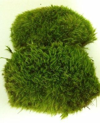 Fresh Mood Moss, Perfect For Bonsai Ground Cover Or Use In Terrariums