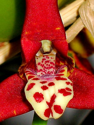 Maxillaria Species Red Spots Duft Selection Orchidee Orchideen
